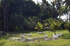 Swan Birds in green lush grass Stock Photography