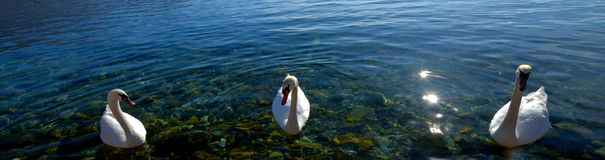 Swan birds in lake Ohrid, Macedonia Royalty Free Stock Photography