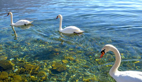 Swan birds in lake Ohrid, Macedonia Stock Images