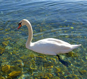 Swan birds in lake Ohrid, Macedonia Stock Photography