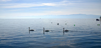 Swan birds in lake Ohrid, Macedonia Royalty Free Stock Image