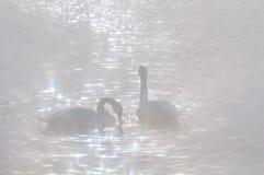 Swan birds lake winter sunlight Stock Photo