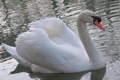 Swan birds Stock Photography