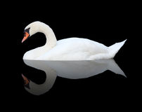 Swan on black. Isolated swan on black background Stock Photos