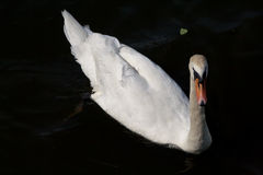 Swan on black water Royalty Free Stock Images