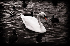 Swan in black and white Royalty Free Stock Photo