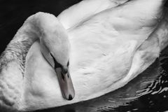 Swan in Black and White. Lonesome swan on lake in a black and white effect Stock Photography