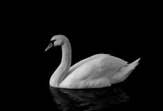 Swan black and white. Monochrome Picture of a swan Stock Photos
