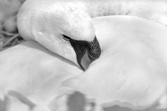 Swan black and white. Swan protecting eggs in nest royalty free stock photos
