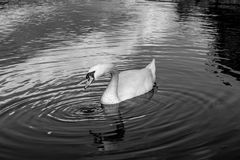 Swan in Black and White. A swan with ripples in the river Royalty Free Stock Images