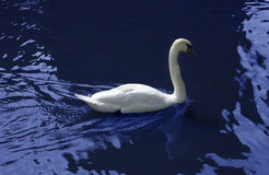 Swan in blue Stock Photography