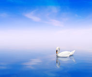 A swan on a blue background. A swan on a blue water background Royalty Free Stock Photography