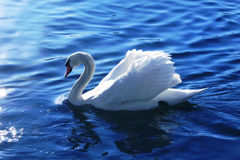 Swan blue lake Royalty Free Stock Photography