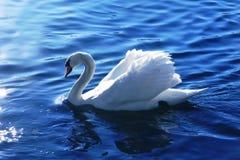 Swan blue lake Royalty Free Stock Photography
