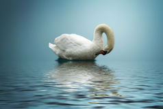 One swan Royalty Free Stock Images