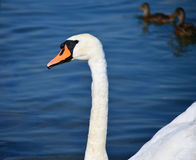 Swan in the blue Stock Image