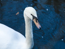 Swan on blue lake. Stock Image