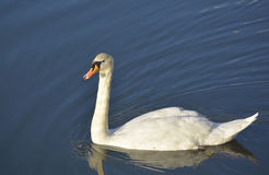 Swan on blue lake water Stock Image