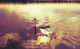 swan on blue lake water in sunny day. Toned Royalty Free Stock Image