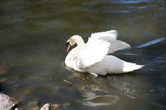 Swan on blue lake water in sunny day Stock Image