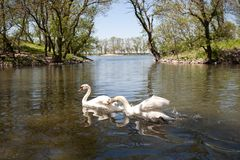 Swan on blue lake water in sunny day Royalty Free Stock Image
