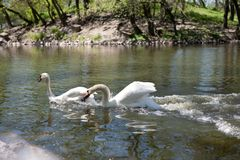 Swan on blue lake water in sunny day Stock Photography
