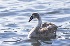 Swan on blue lake water Stock Photography
