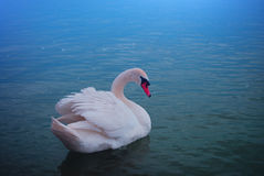 Swan. Blue lights on lake Stock Photography