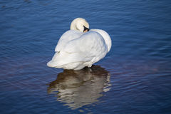 Swan in the blue ocean Stock Images