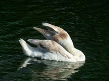 Swan on a blue pond water stock photos