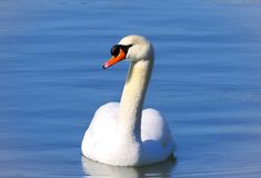 Swan on a blue pond water stock photography