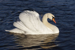 Swan on the blue water Royalty Free Stock Images