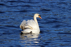 Swan on Blue Water Royalty Free Stock Images