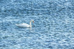 Swan on blue water in sunny day Royalty Free Stock Photos