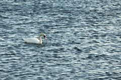 Swan on blue water in sunny day Stock Photography