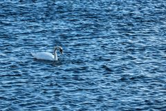Swan on blue water in sunny day Royalty Free Stock Images