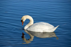 Swan on Blue Water Table. Swan on Blue Lake Water Table Royalty Free Stock Images