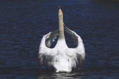 Swan on blue waters
