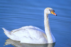 Swan in the blue Royalty Free Stock Images