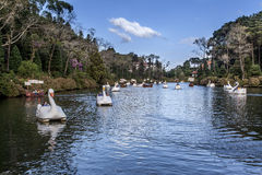 Swan Boats on Dark Lake Gramado Brazil Stock Image
