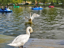 Swan boats and white swans on the lake Stock Image