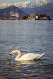 Swan with the Borromee islands in the background. A funny swan in the foreground with the Borromee islands in the background, Stresa, Italy stock photos