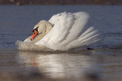 Swan with bow wave. A mute swan chasing a competitor stock images