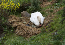 Swan breeds in his nest photo.  Royalty Free Stock Images