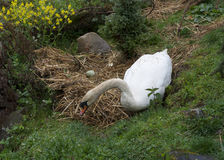 Swan breeds in his nest photo. Swan breeds in his nest parenting photo Royalty Free Stock Photos