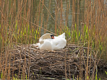 Swan breeds in nest. Swan breeds in his nest Royalty Free Stock Image