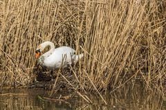 Swan building a nest for laying eggs and breeding stock images