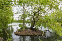 A Swan builds its nest on a small island on South Norwood Lake, Royalty Free Stock Images