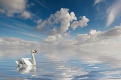 Swan in calm water Royalty Free Stock Photo