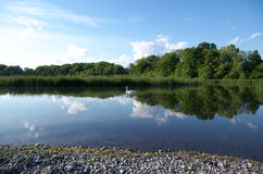 Swan in the calm water with a perfect mirror like reflection of the clouds, sky and trees Stock Photos